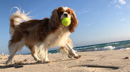 Dog running on the beach with ball: Heartworm Awareness in Fort Lauderdale